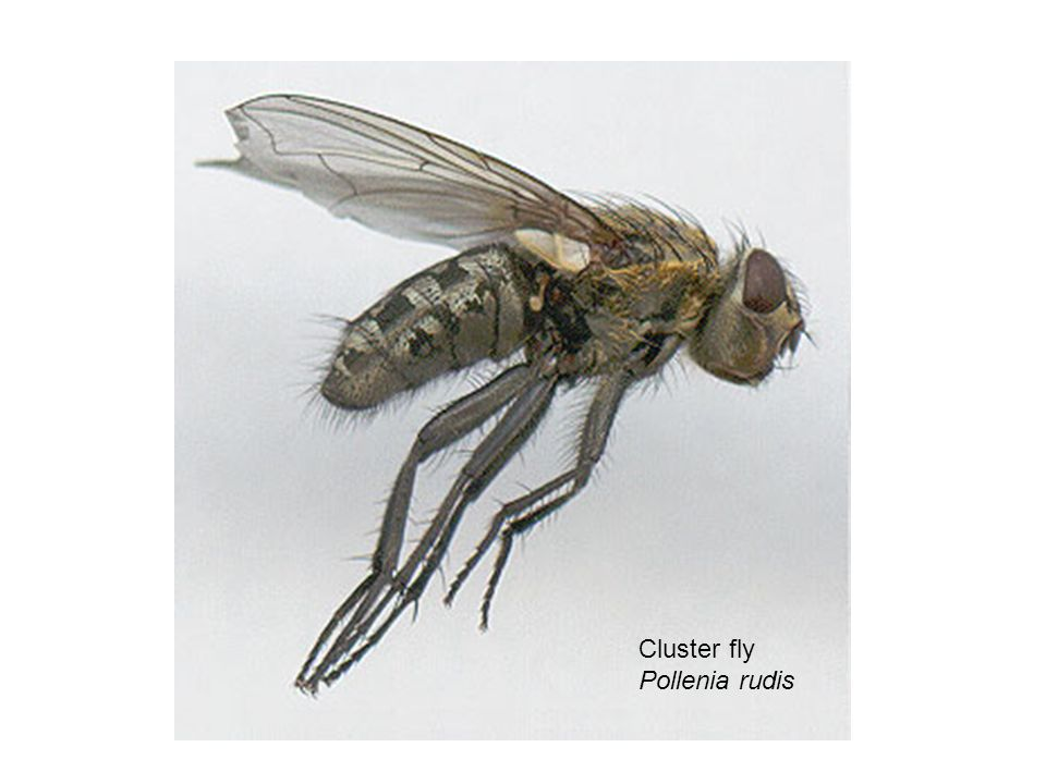 Cluster fly Pollenia rudis