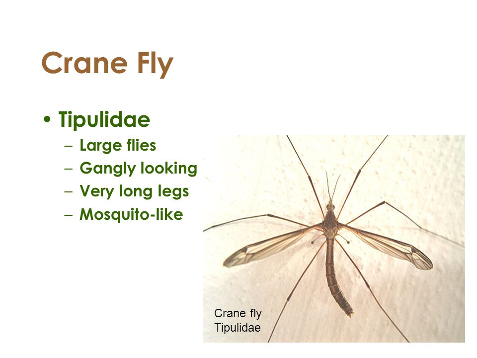 Crane Fly Tipulidae Large flies Gangly looking Very long legs