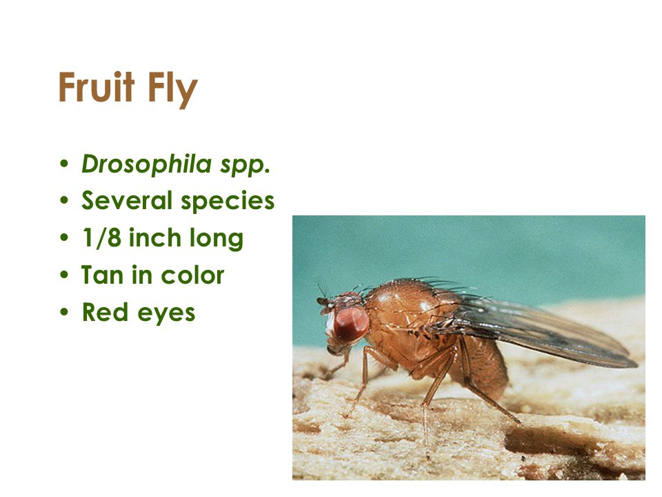 Fruit Fly Drosophila spp. Several species 1/8 inch long Tan in color