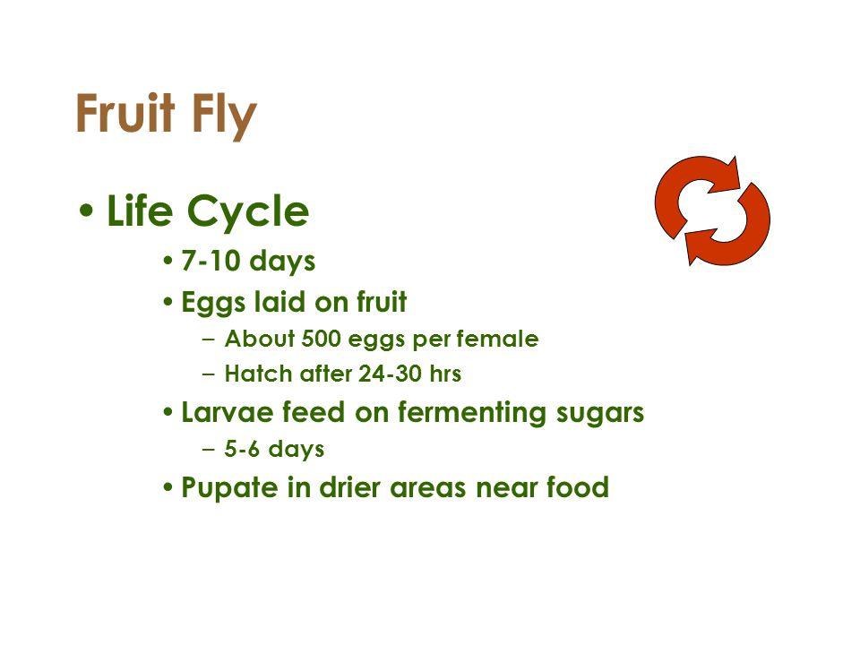 Fruit Fly Life Cycle 7-10 days Eggs laid on fruit