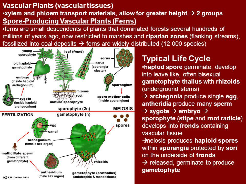 Typical Life Cycle Vascular Plants (vascular tissues)