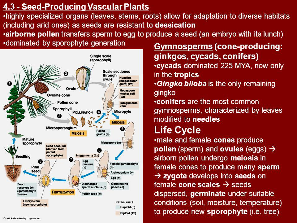 Life Cycle 4.3 - Seed-Producing Vascular Plants