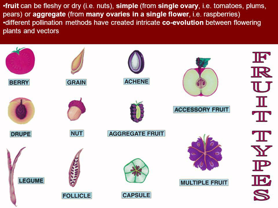 fruit can be fleshy or dry (i. e. nuts), simple (from single ovary, i