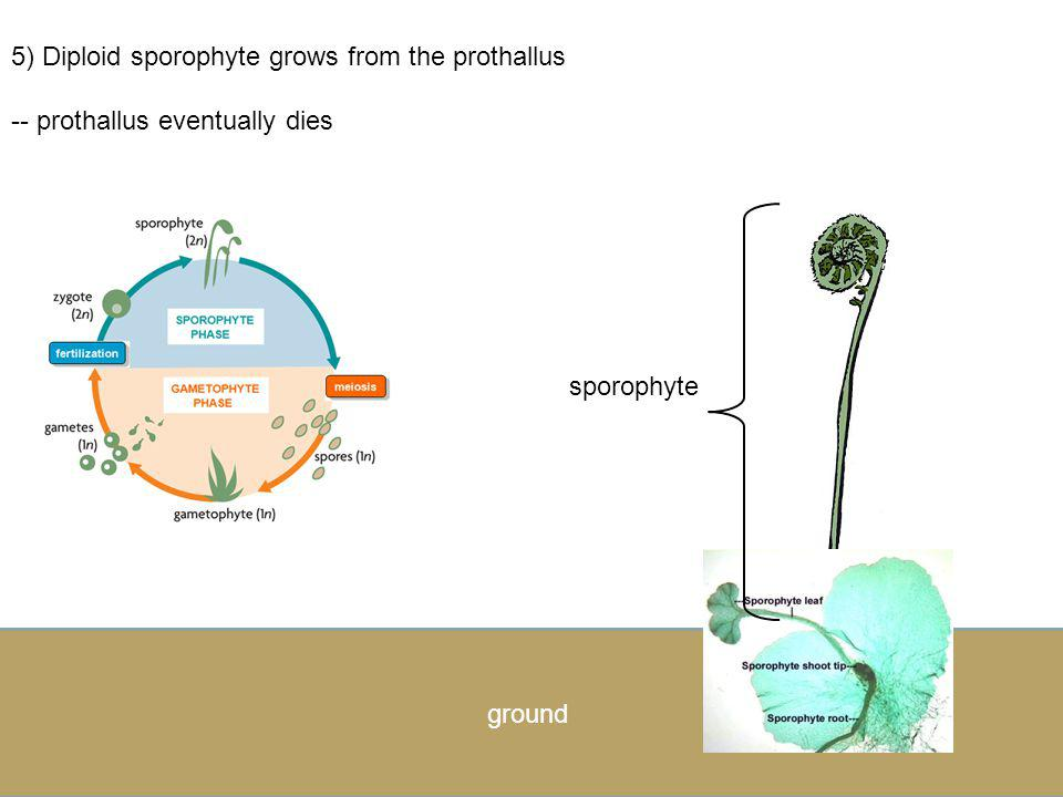 5) Diploid sporophyte grows from the prothallus