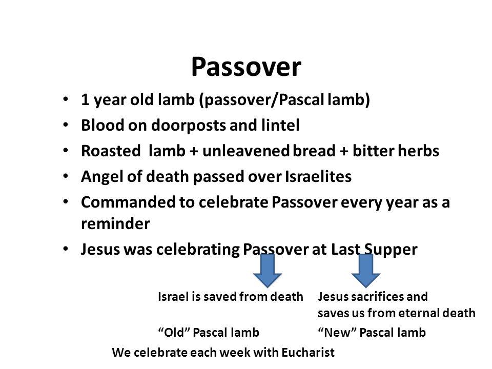 Passover 1 year old lamb (passover/Pascal lamb)