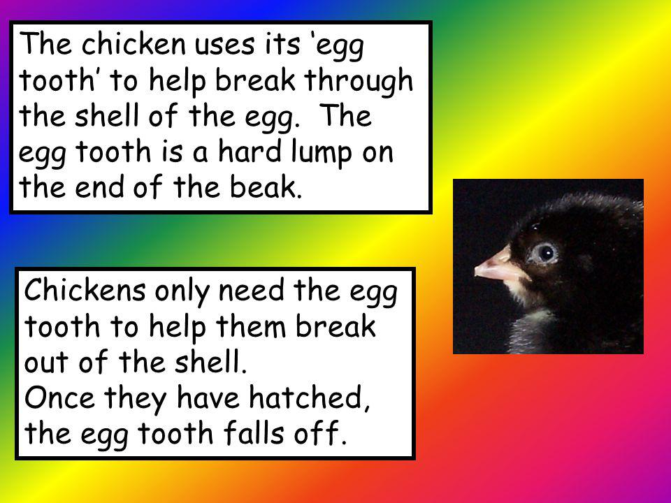 The chicken uses its 'egg tooth' to help break through the shell of the egg. The egg tooth is a hard lump on the end of the beak.