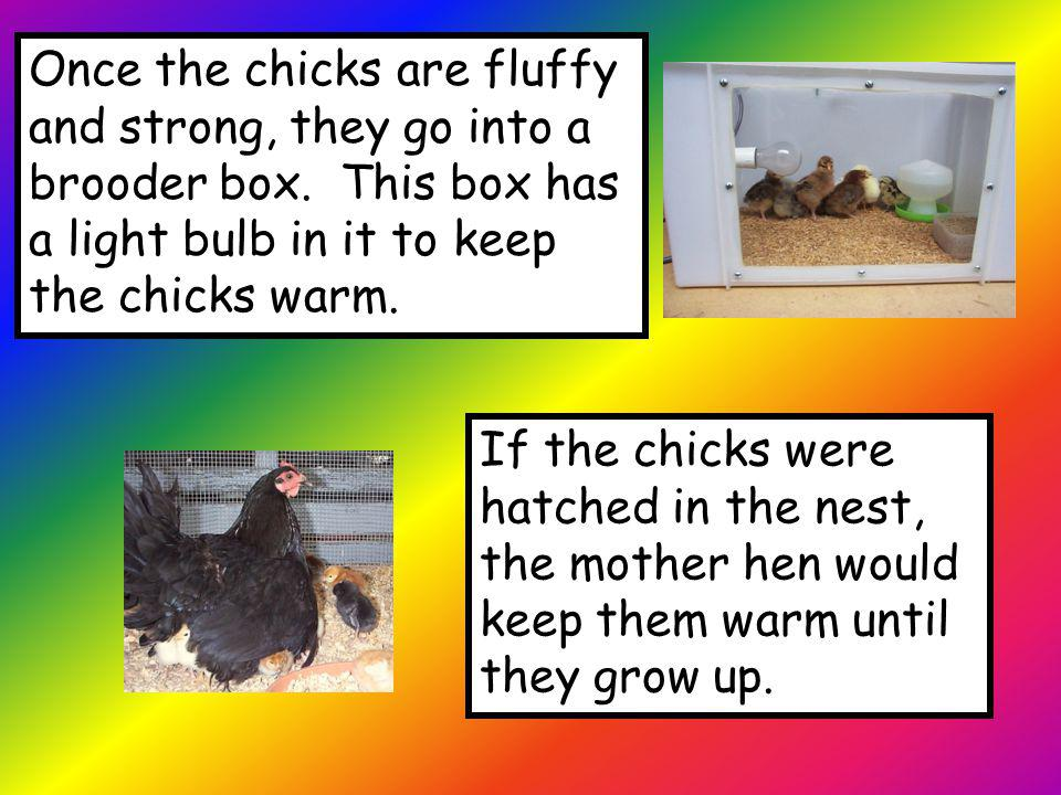 Once the chicks are fluffy and strong, they go into a brooder box