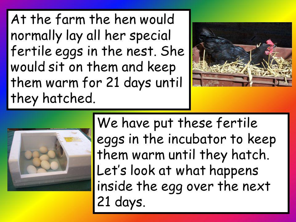 At the farm the hen would normally lay all her special fertile eggs in the nest. She would sit on them and keep them warm for 21 days until they hatched.