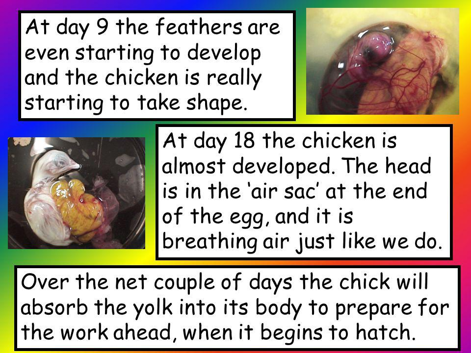 At day 9 the feathers are even starting to develop and the chicken is really starting to take shape.