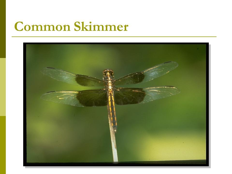 Common Skimmer
