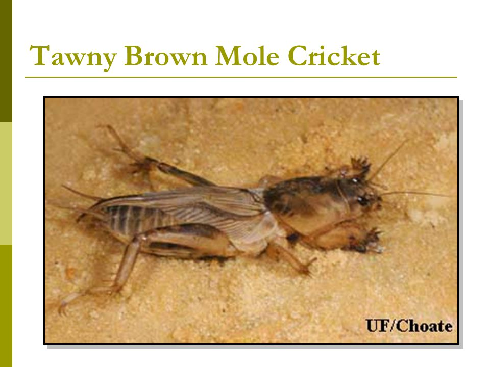 Tawny Brown Mole Cricket
