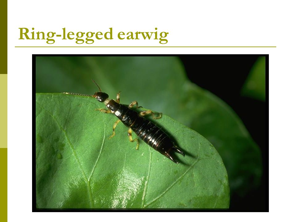 Ring-legged earwig