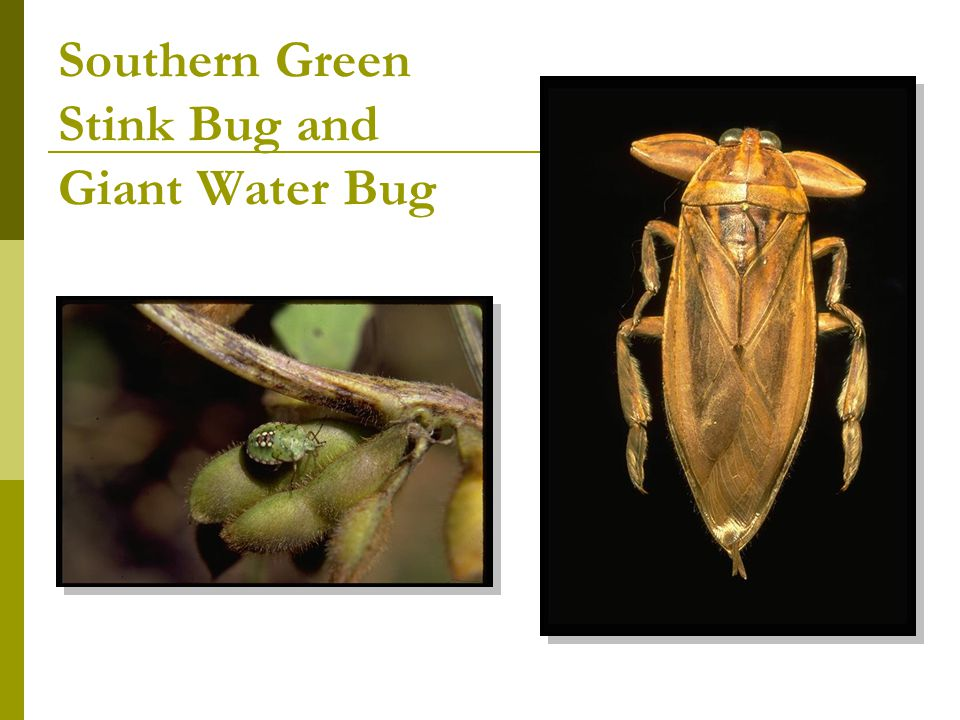 Southern Green Stink Bug and Giant Water Bug