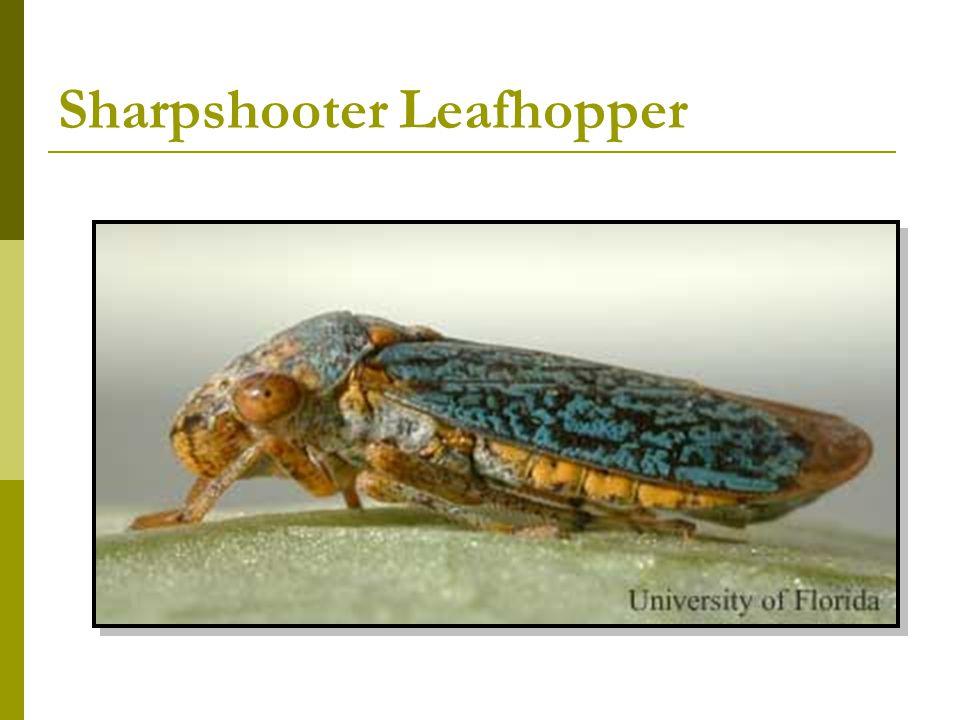 Sharpshooter Leafhopper