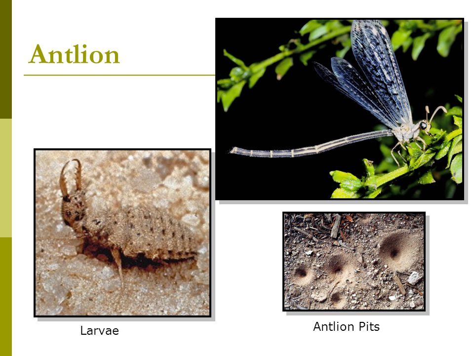 Antlion Antlion Pits Larvae