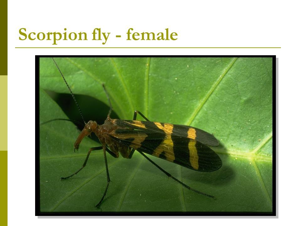 Scorpion fly - female