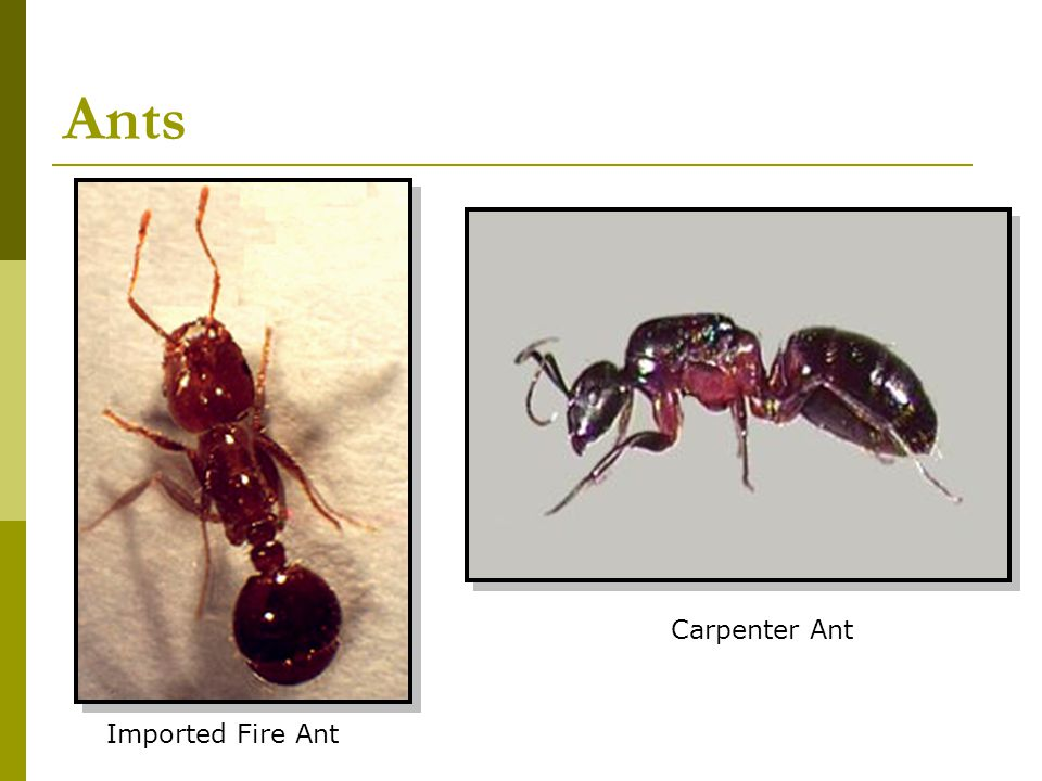 Ants Carpenter Ant Imported Fire Ant