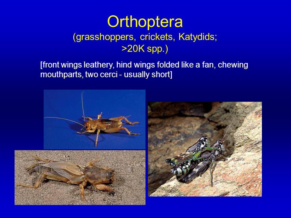 (grasshoppers, crickets, Katydids; >20K spp.)