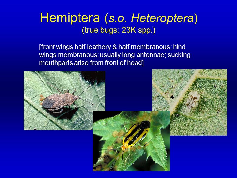 Hemiptera (s.o. Heteroptera)