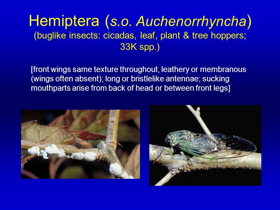 Hemiptera (s.o. Auchenorrhyncha)