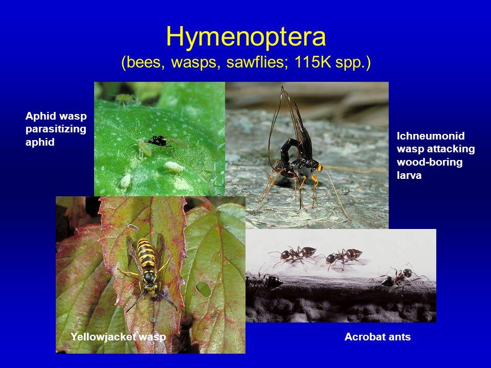 (bees, wasps, sawflies; 115K spp.)