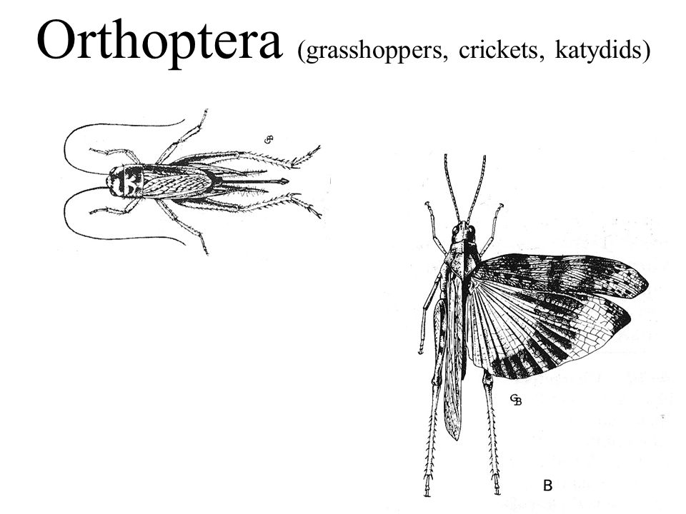 Orthoptera (grasshoppers, crickets, katydids)