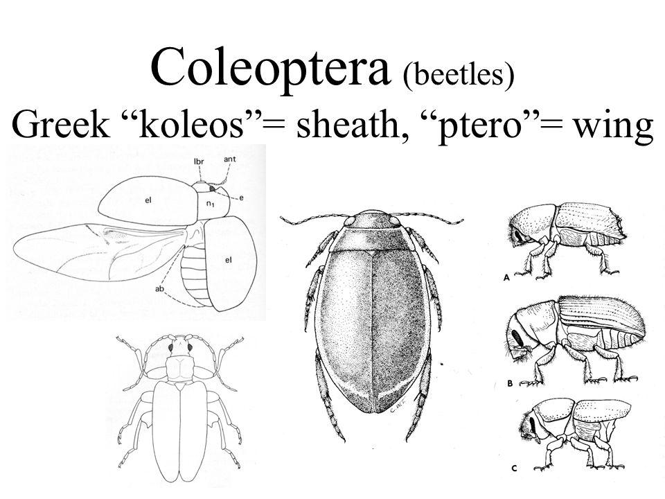 Coleoptera (beetles) Greek koleos = sheath, ptero = wing