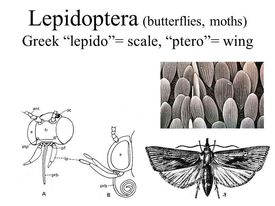 Lepidoptera (butterflies, moths) Greek lepido = scale, ptero = wing