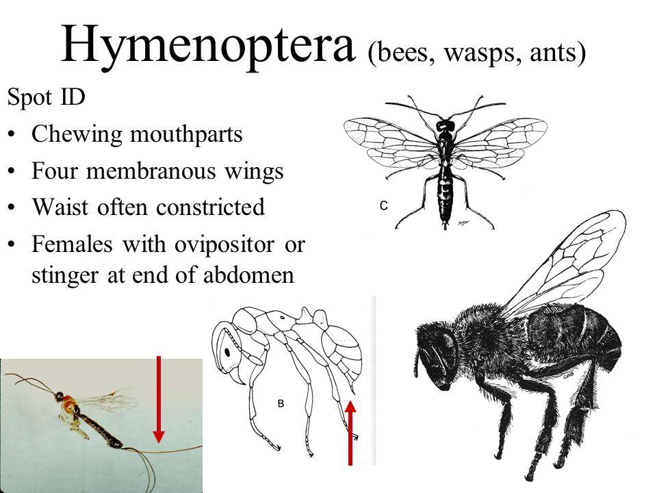 Hymenoptera (bees, wasps, ants)