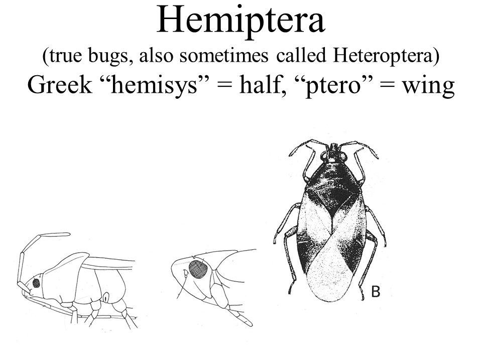 Hemiptera (true bugs, also sometimes called Heteroptera) Greek hemisys = half, ptero = wing