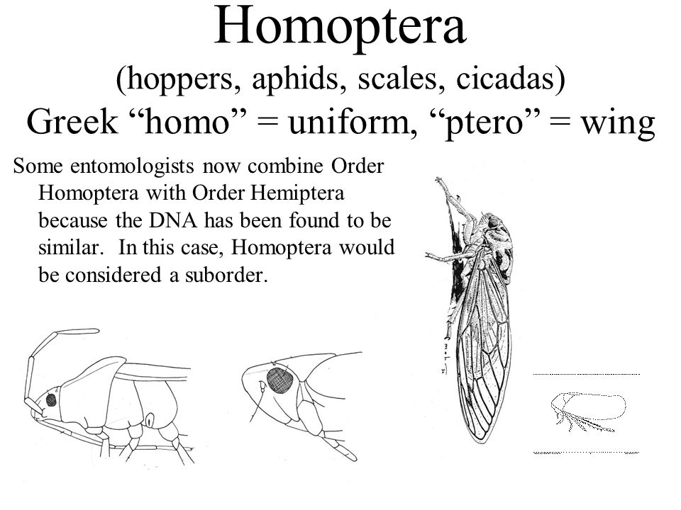Homoptera (hoppers, aphids, scales, cicadas) Greek homo = uniform, ptero = wing