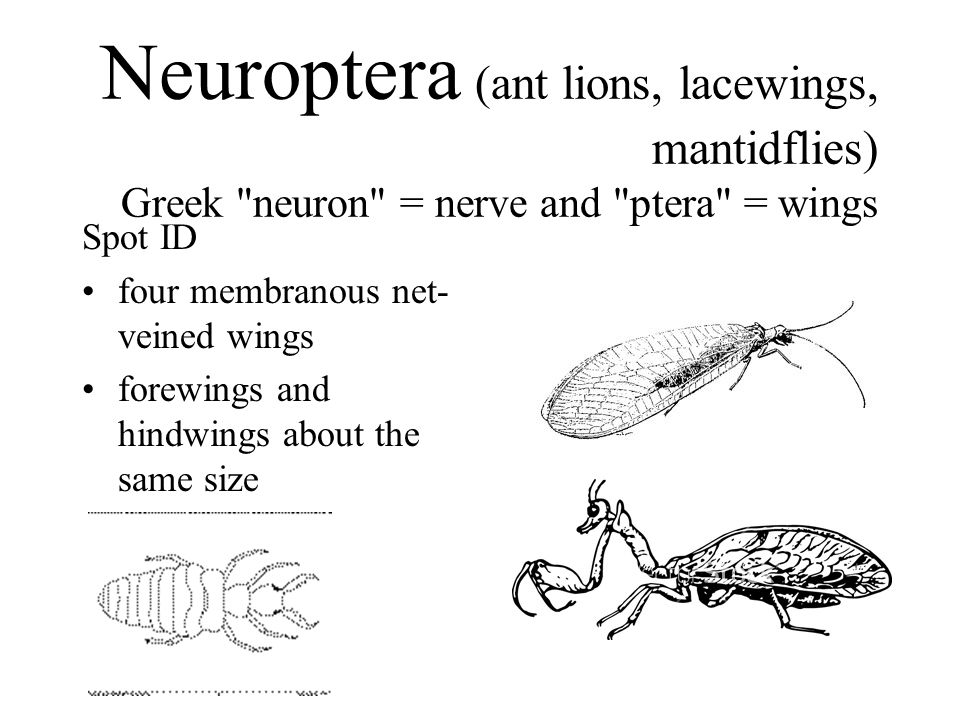 Neuroptera (ant lions, lacewings, mantidflies) Greek neuron = nerve and ptera = wings