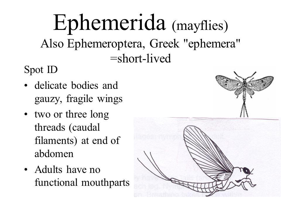 Ephemerida (mayflies) Also Ephemeroptera, Greek ephemera =short-lived
