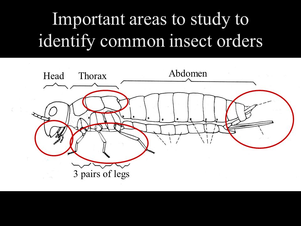 Important areas to study to identify common insect orders