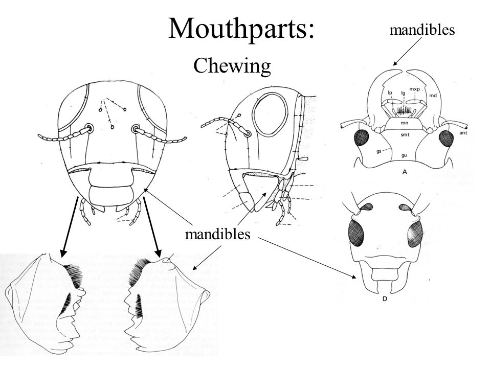 Mouthparts: Chewing mandibles mandibles