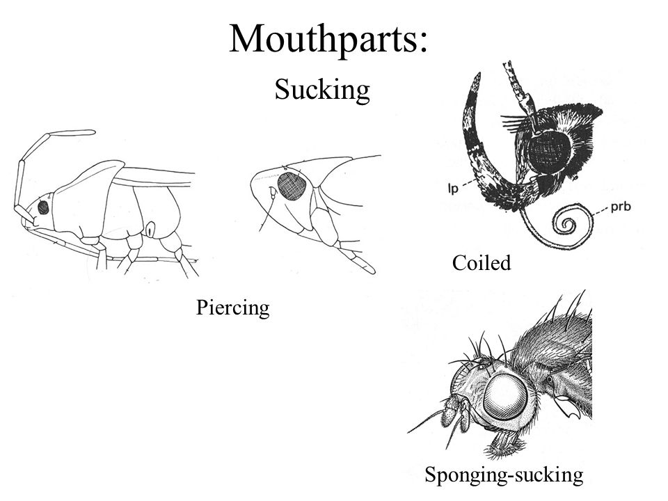 Mouthparts: Sucking Coiled Piercing Sponging-sucking