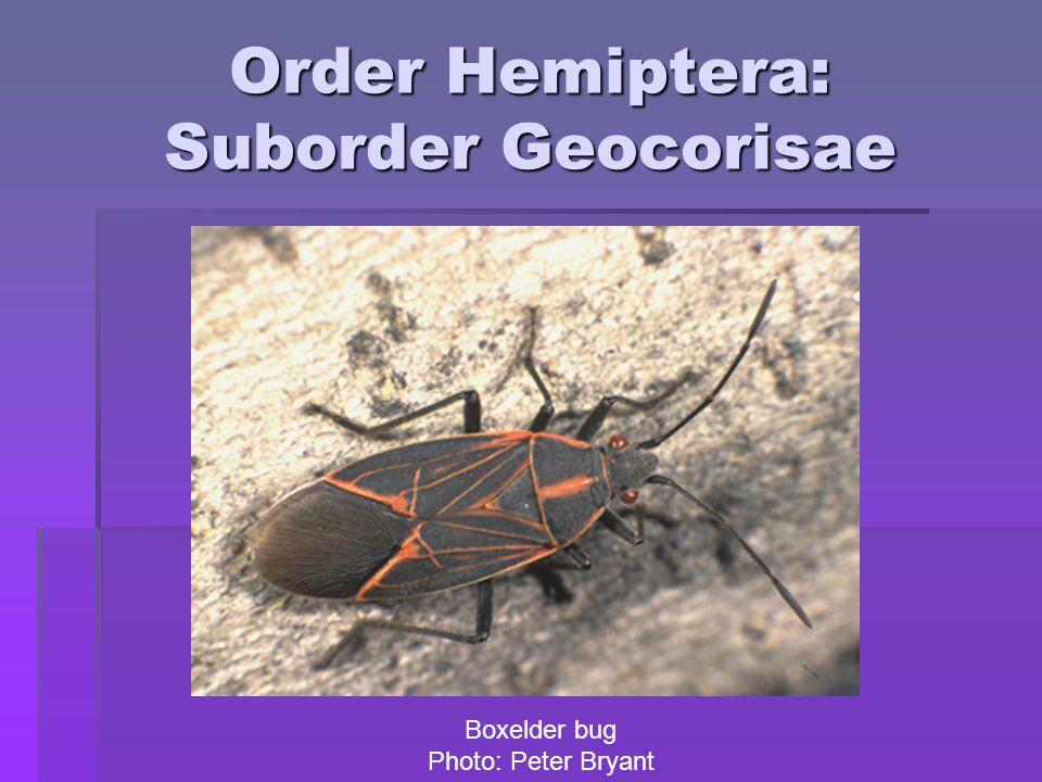 Order Hemiptera: Suborder Geocorisae