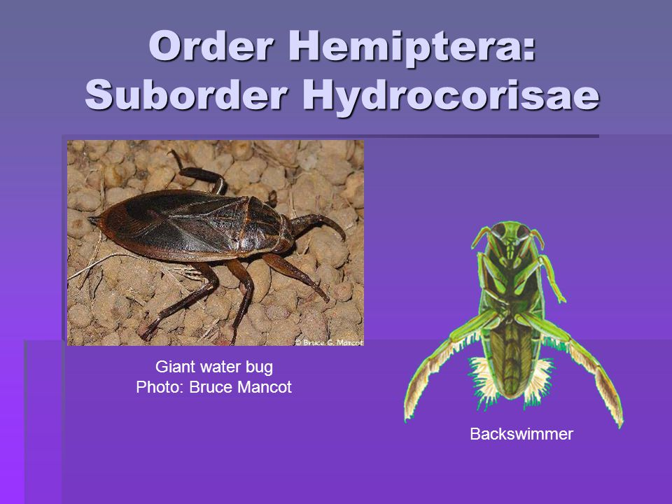 Order Hemiptera: Suborder Hydrocorisae