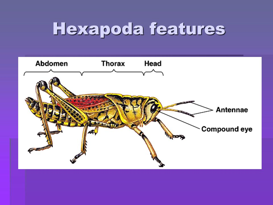 Hexapoda features