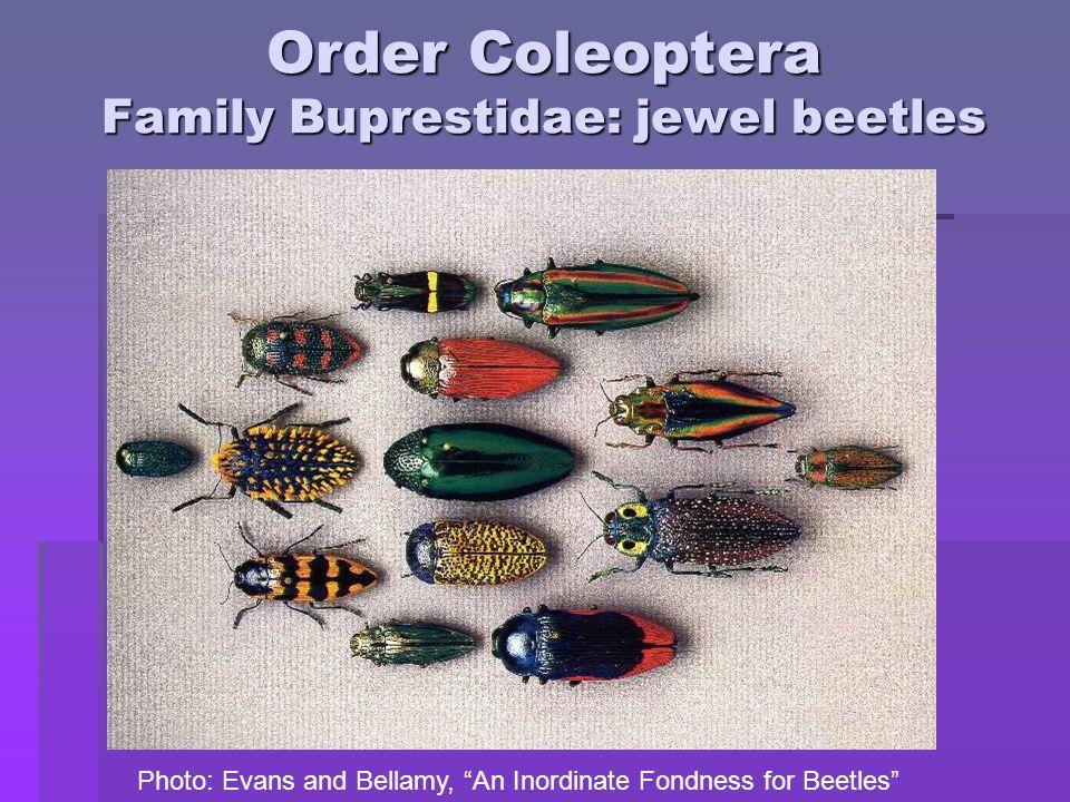 Order Coleoptera Family Buprestidae: jewel beetles