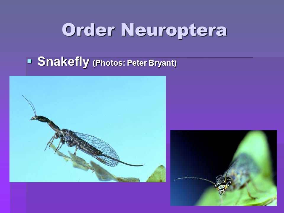 Order Neuroptera Snakefly (Photos: Peter Bryant)