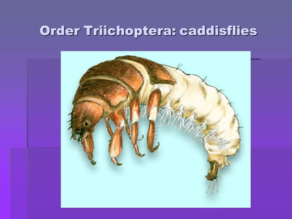 Order Triichoptera: caddisflies