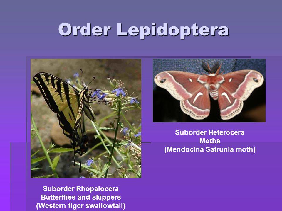 Order Lepidoptera Suborder Heterocera Moths (Mendocina Satrunia moth)