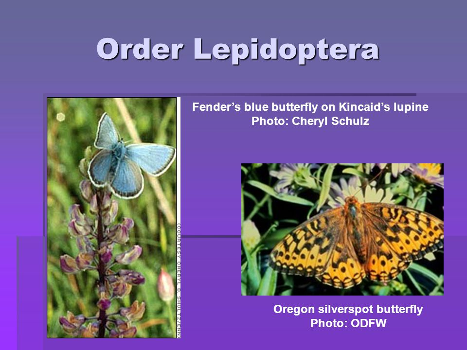 Order Lepidoptera Fender's blue butterfly on Kincaid's lupine