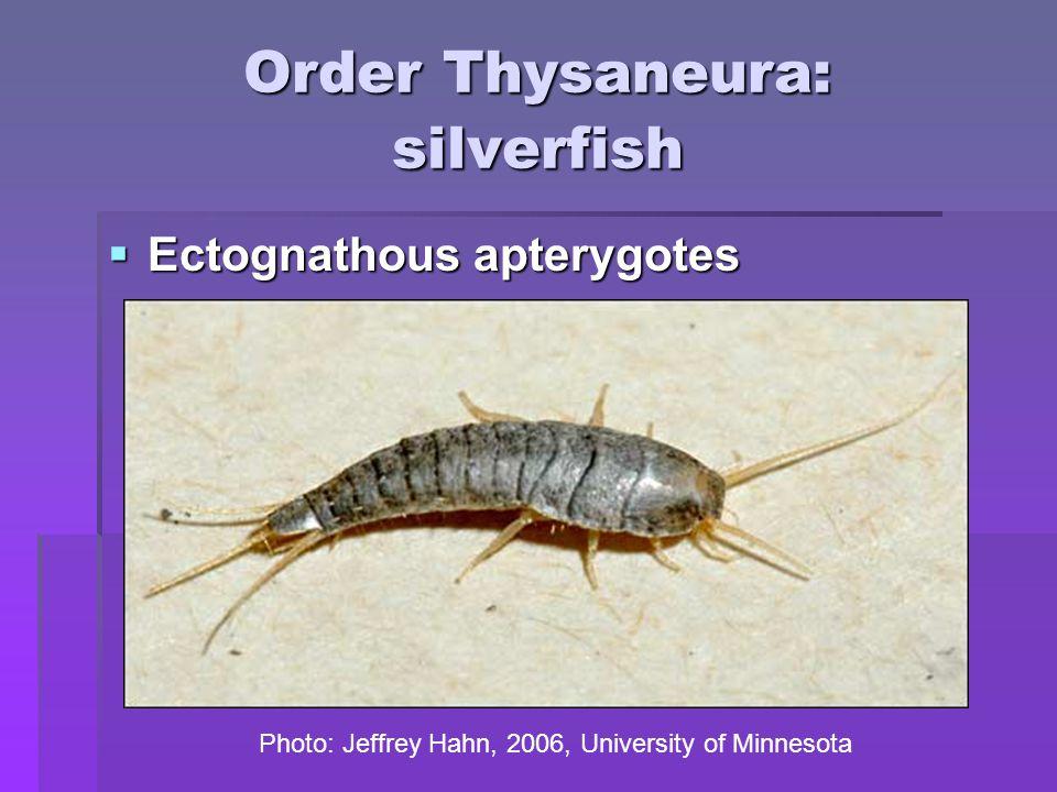 Order Thysaneura: silverfish