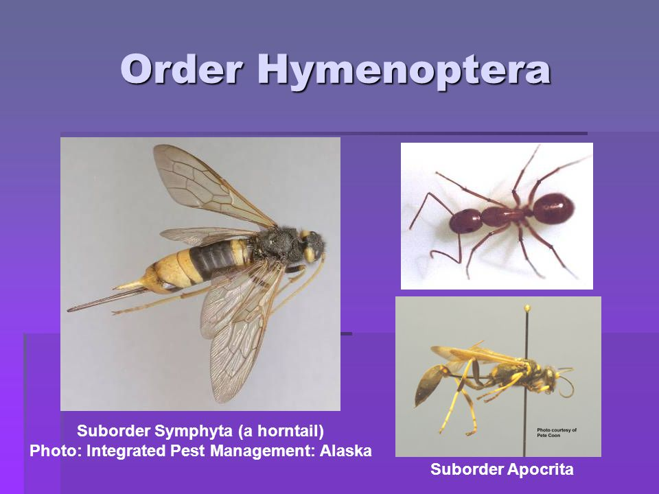 Order Hymenoptera Suborder Symphyta (a horntail)