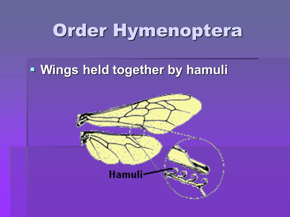 Order Hymenoptera Wings held together by hamuli
