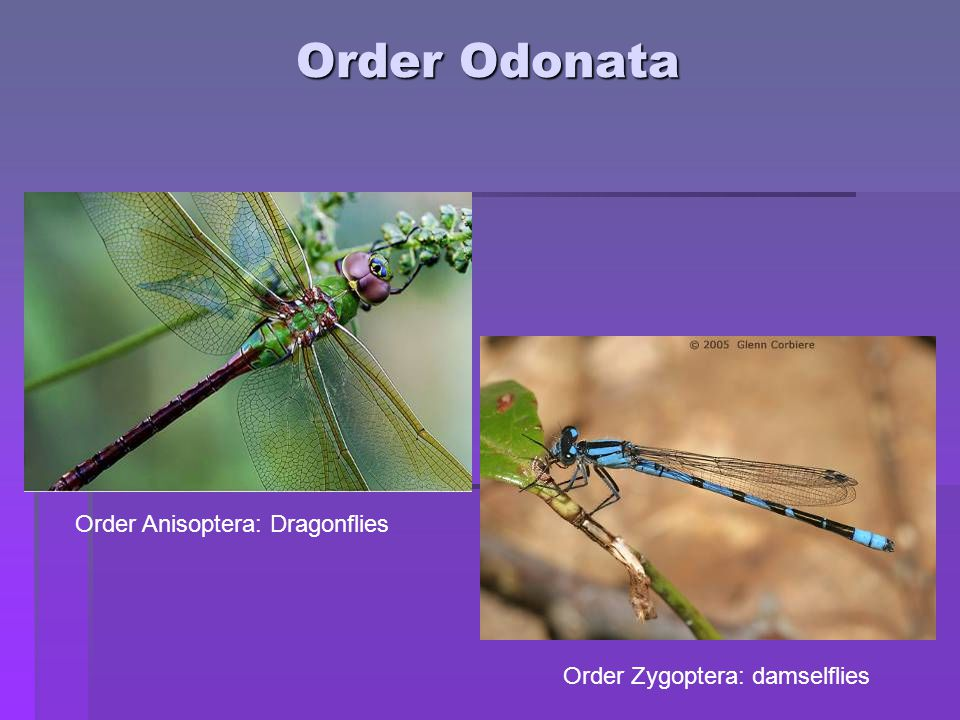 Order Odonata Order Anisoptera: Dragonflies