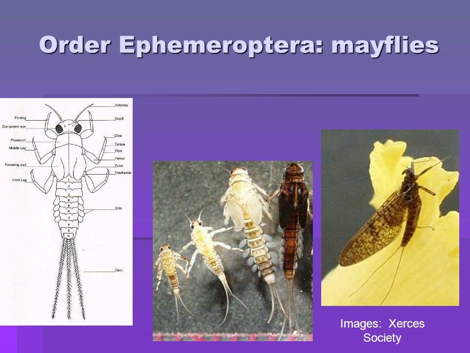 Order Ephemeroptera: mayflies