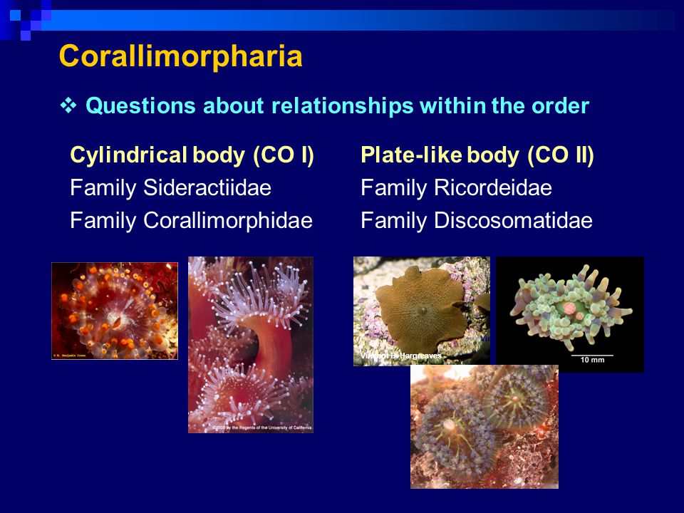 Corallimorpharia Questions about relationships within the order